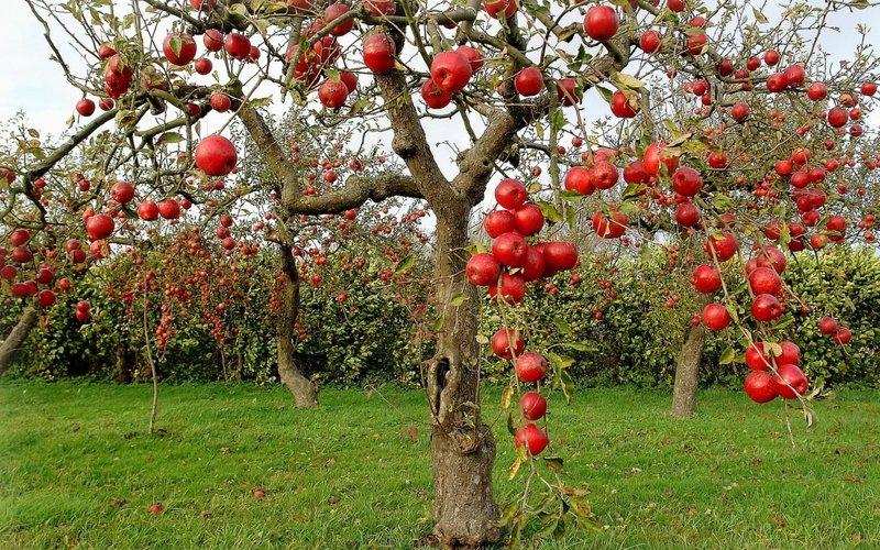 Optimized-fruits apples fruit trees_www.wallpaperhi.com_15